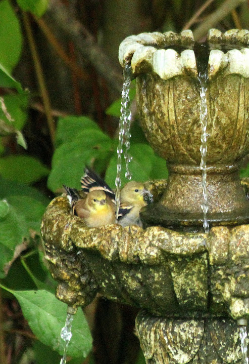 A duet of American goldfinches