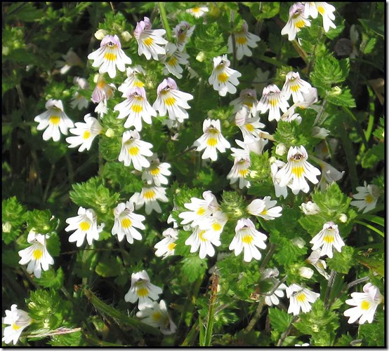 2807-Common-Eyebright-Euphrasia-rostkoviana