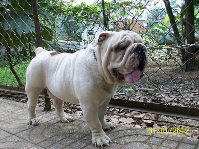 Trại chó Tiến Vinh - mua chó bulldog. bán chó bulldog Anh tại Hà nội và TPHCM