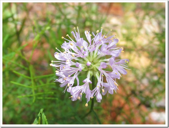 Scrub Prairie Clover Plant Flower (2)