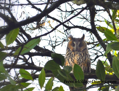 French Village Diaries wildlife in France long eared owl