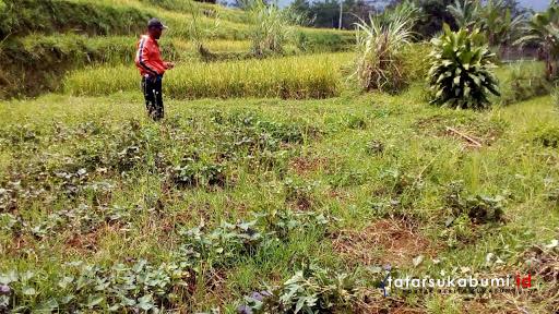 Babi Hutan Menyerang Sawah dan Kebun Milik Warga di Kabandungan, Kabupaten Sukabumi