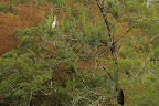 GRANDE PERCHE   La grande aigrette surveille son domaine : un étang riche en poissons !