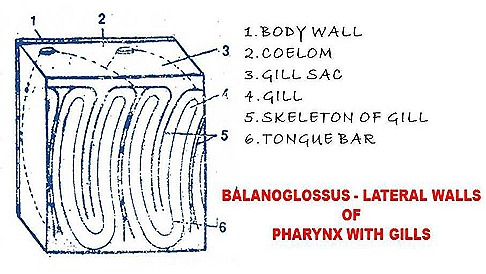 belanoglasus-respiration