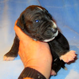 Black male with white markings @ 2 weeks