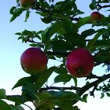Amerikanske eple