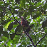 Paradisier de Wallace : Semioptera wallacii Gould, 1859. Weda, Halmahera, Maluku (Indonésie), 28 août 2014. Photo : T. Boucher