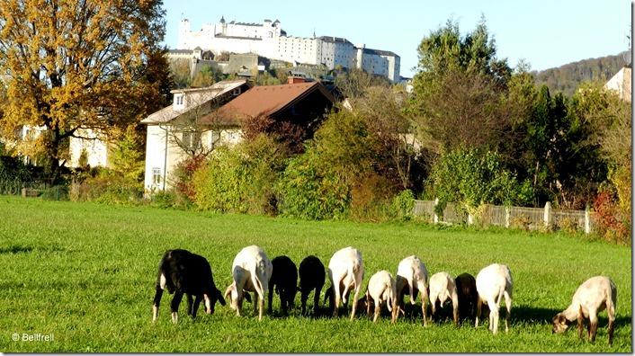 Schafe in einer Reihe 2014-11-02 046