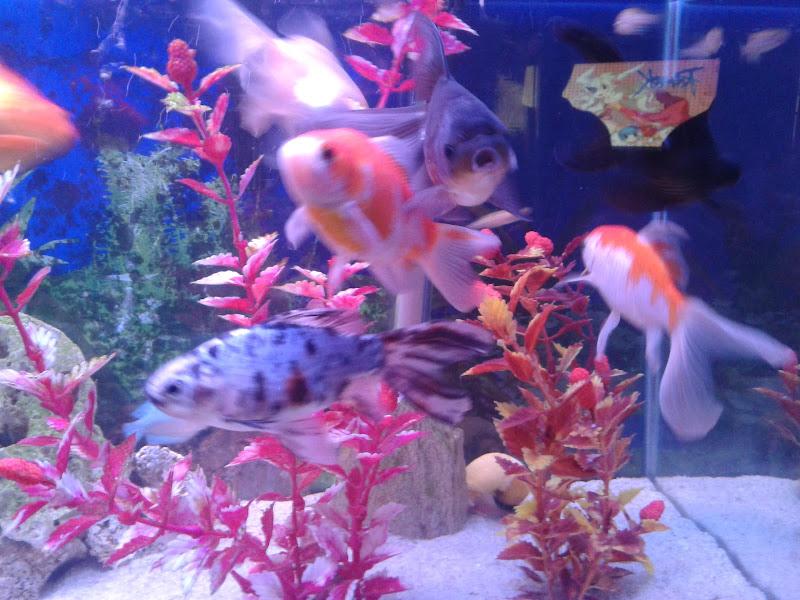 7º Concurso AquaPeixes de Fotografias -Tema Peixes Cardumeiros e Peixes em Grupo- 2012-12-23%252018.45.42