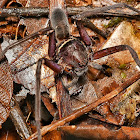 Black Jaw Huntsman spider