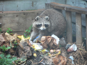 A large raccoon looks up from my compost with an expression of guilt