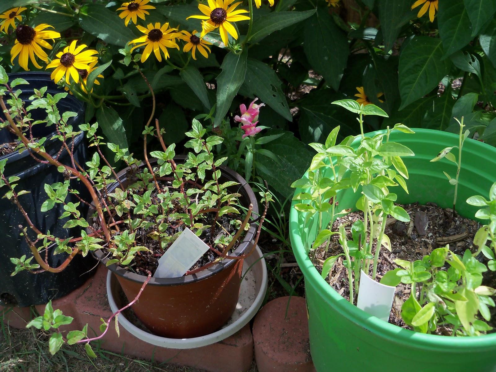 Gardening 2010, Part Three - 101_5283.JPG