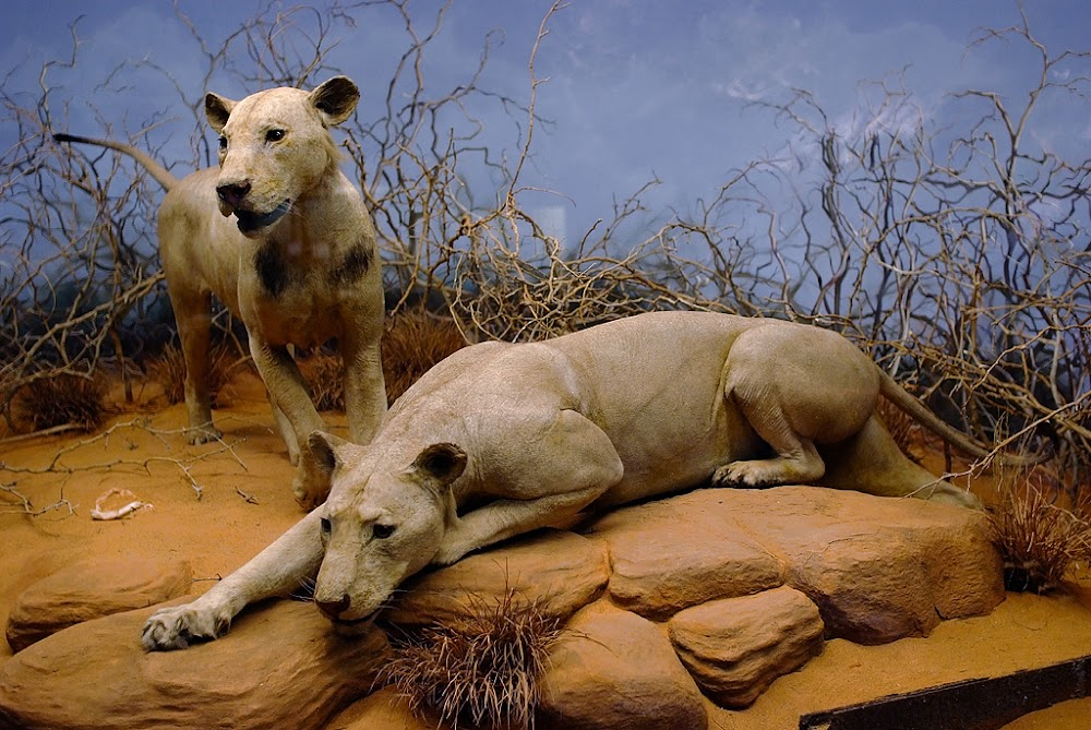 The Tsavo maneaters.