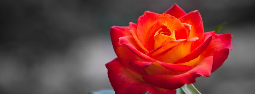 Orange rose facebook cover