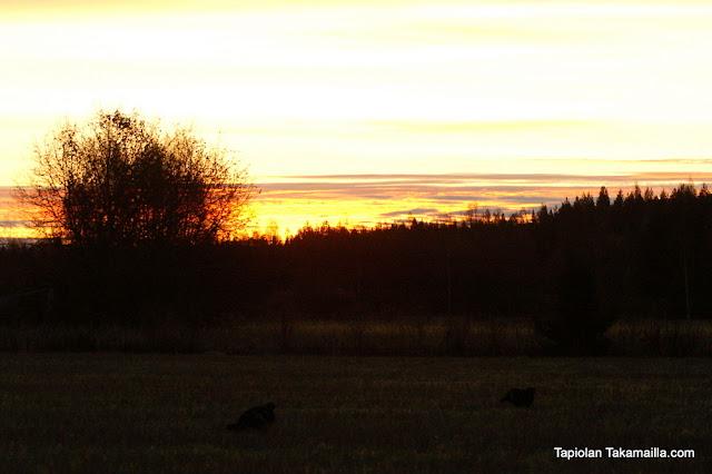 teerijahti metsäkanalintu labradorinnoutaja kuvapyynti houkuttelumetsästys aamuaurinko auringonnousu