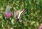 Papilio alexanor.7.jpg