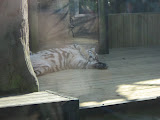 TIGERS Preservation Station - Myrtle Beach - 040510 - 16