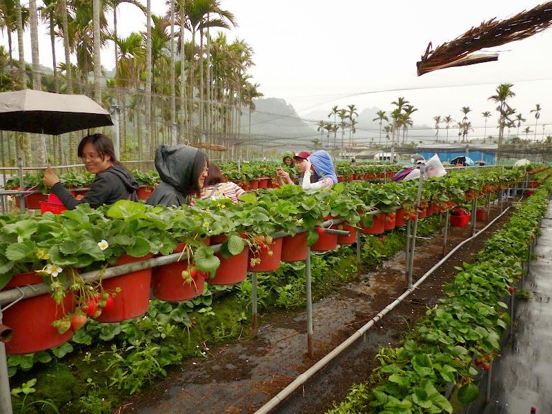 Miaoli county. Nanzhang puis Dahu la capitale de la fraise... - P1050244.JPG