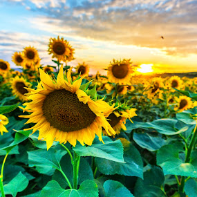 Sunflowers at the sunset by Stefan Sorean - Flowers Flower Gardens ( sunrise, pollen, rural, yellow, bright, solar, sun, summer, agriculture, beautiful, view, botanical, plantation, farming, golden, season, sunny, meadow, organic, sky, floral, blossom, green, natural, nature, sunflower, heaven, flower, outdoor, cloudy, sunlight, field, sunbeam, light, background, sunset, plant, shining, growth, evening, landscape, crop )