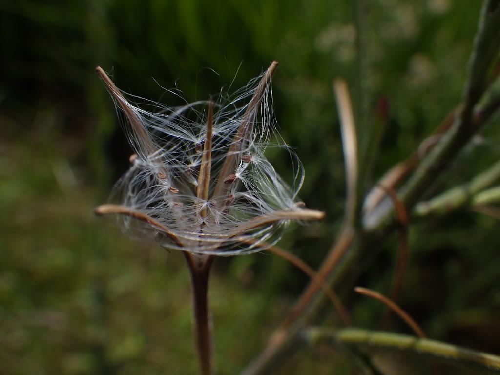裂開した蒴果と種子の様子