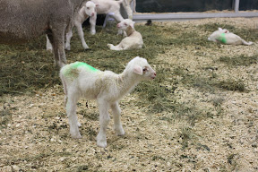 A newborn lamb stretching his legs