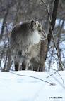 20120228 SHEEP11 15:00ホームレンジ南400mにて発見。  昨年春に生まれた仔カモシカ SHEEP11。もう気高く独立した顔をみせる。今日は、母親から400m程離れて1日別行動だったようだ。休息場には、親子2つ分の痕跡(今朝までの雪の融けた跡)があり、その後は別行動。