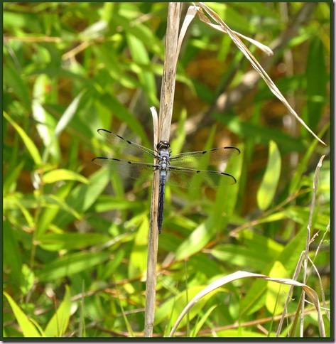 dragonflyIMG_0667