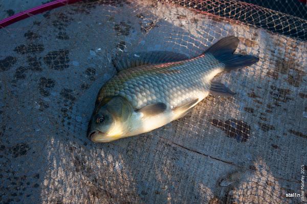 Риба карась