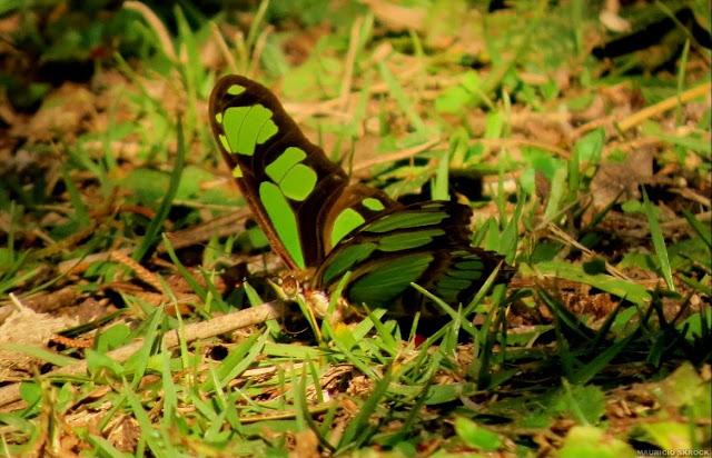 Philaethria dido dido (LINNAEUS, 1763).Environs de Curitiba (Paraná, Brésil), 8 juin 2013. Photo : Mauricio Skrock