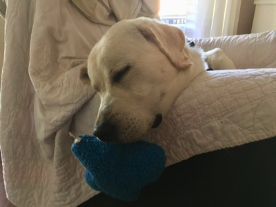 White Labrador laying in a chair sleeping with a chew toy