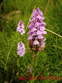 Orchidée 3.jpg