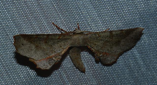 Geometridae : Oenochrominae : Parepisparis lutosaria R. FELDER & ROGENHOFER, 1875, ou bien Circopetes obtusata WALKER, 1860 ? Umina Beach (N. S. W., Australie), 28 décembre 2011. Photo : Barbara Kedzierski