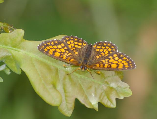 Mellicta athalia ROTTEMBURG, 1775, mâle. Les Hautes-Lisières (Rouvres, 28), 30 juin 2011. Photo : J.-M. Gayman