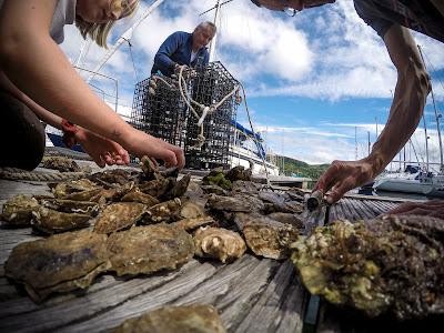 Native Oyster regeneration