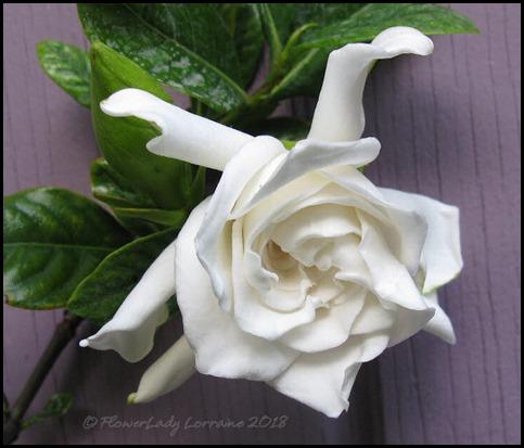 04-16-gardenia