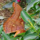 Saturniinae : Antheraea godmani (Druce, 1892), mâle. Mount Totumas, 1900 m (Chiriqui, Panamá), 21 octobre 2014. Photo : J.-M. Gayman