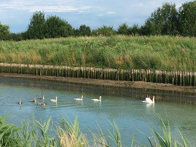 En svanefamilie som svømmer på kanalen.