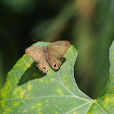 Euptychoides griphe (C. Felder & R. Felder, 1867), femelle. La Minga, Choachi, 2330 m (Cundinamarca, Colombie), 11 novembre 2015. Photo : J.-M. Gayman