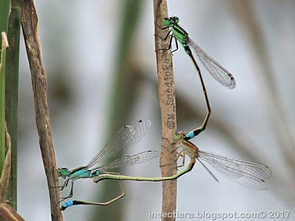 Ischnura senegalensis 3