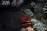 Slender giant moray (© 2008 Bernd Neeser)
