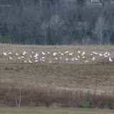Snow Geese in corn field (Gord Belyea)
