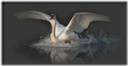cisnes-buscoimagenes-10_thumb