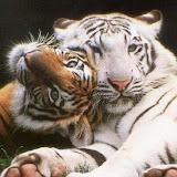tigres.jpg