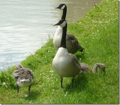 1 growing goslings