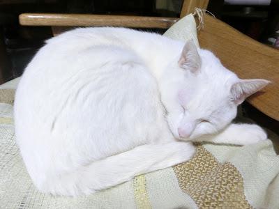 まんじゅう姿で寝る白猫ユキちゃん