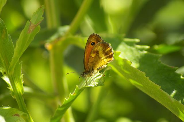 Pyronia tithonus, LINNAEUS, 1771, femelle.  Les Hautes-Lisières, 19 juillet 2010. Photo : Jean-Marc Gayman