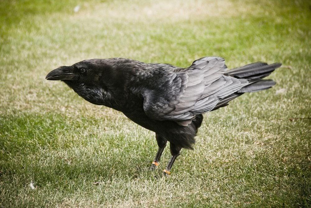 A Torre de Londres e seus corvos