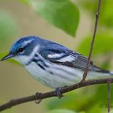 Cerulean Warbler (Karl Egressy)