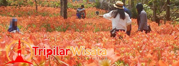 Tripilarwisata- Kebun Bunga Amarilis - Taman bunga Patuk gunung kidul yogyakarta