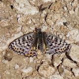 Melitaea didyma meridionalis STAUDINGER, 1870, femelle. Plateau de Coupon (511 m), Viens (Vaucluse), 12 mai 2014. Photo : J.-M. Gayman